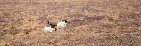 Caribou in field