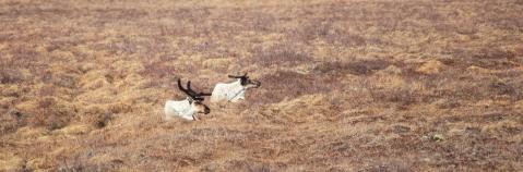 Caribou in field