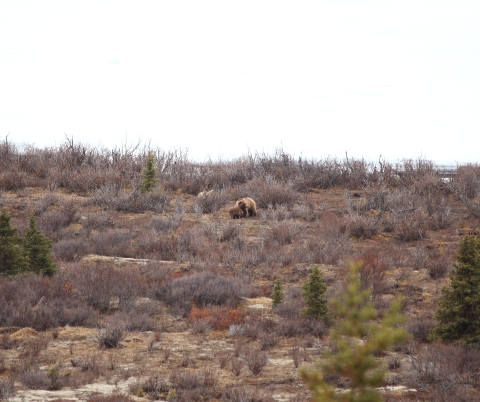 How I like my grizzlies - through a 300mm lens.