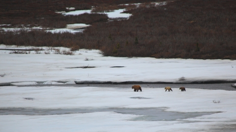 Denali grizzly and cubs
