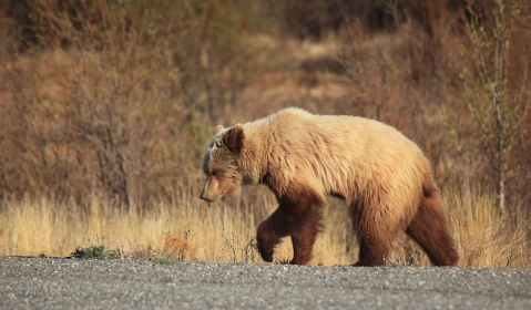 Grizzly in the Yukon